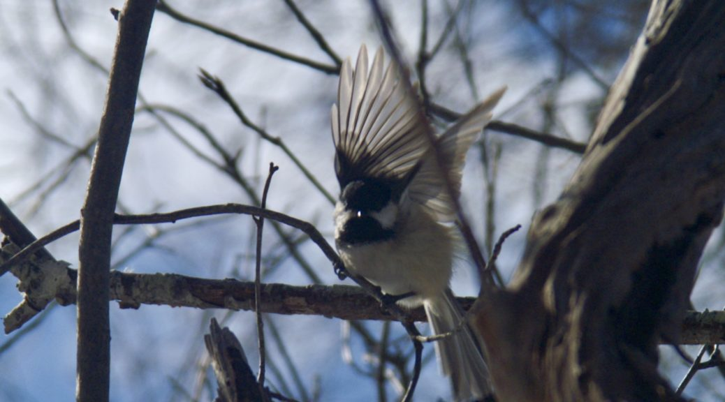 Black Capped Chickadee Seashore To Forest Floor