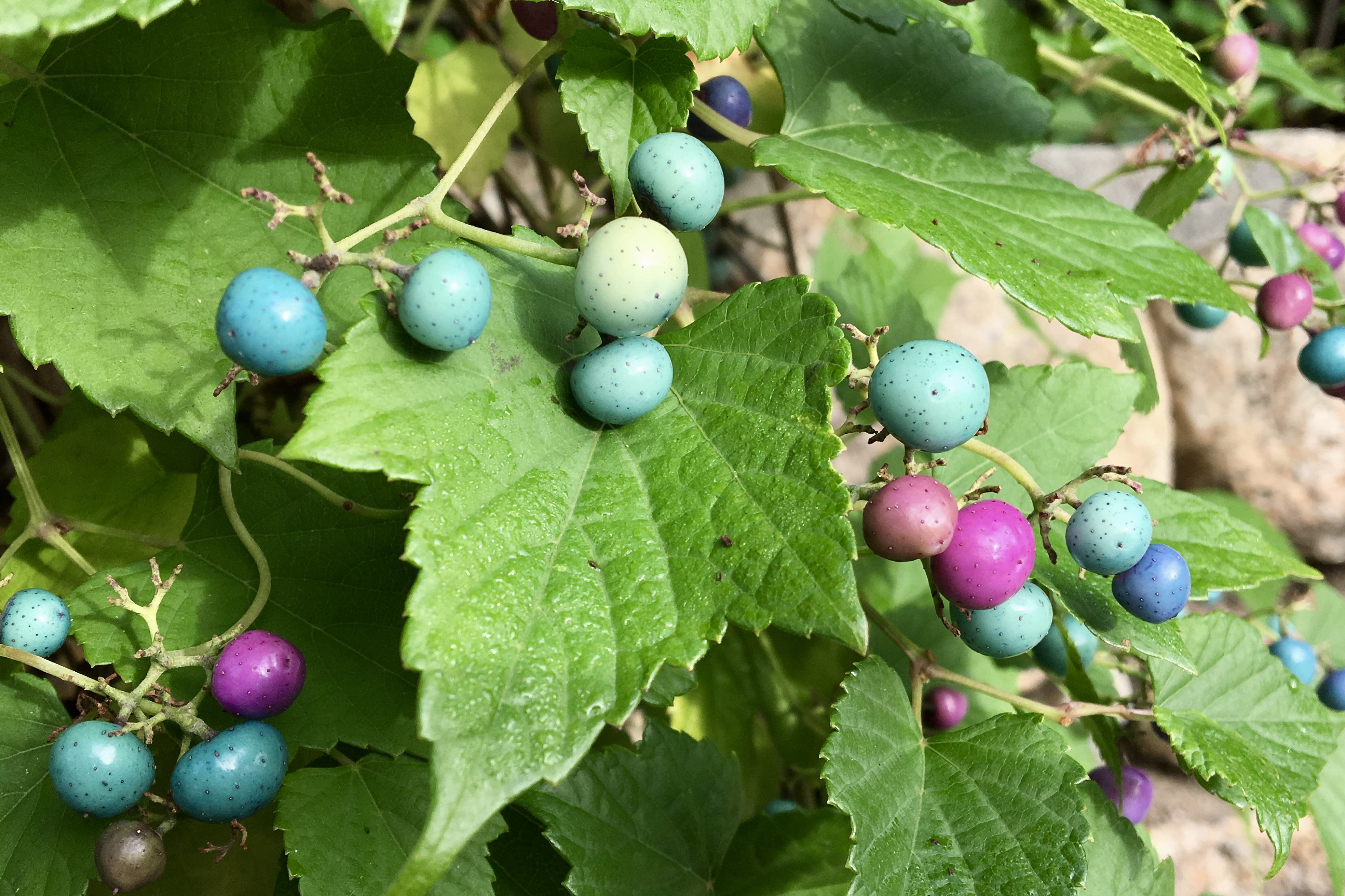 Porcelain Berry (Ampelopsis glandulosa) – Seashore to Forest Floor